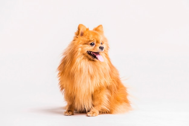 Portrait of spitz sticking out tongue over white backdrop