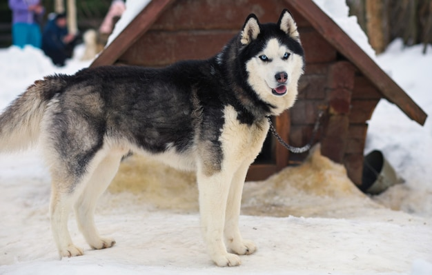 Portrait of sports sled husky dog. working mushing dogs of the north.