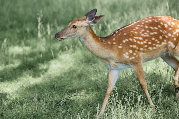 Portrait of a spotted deer in the forest