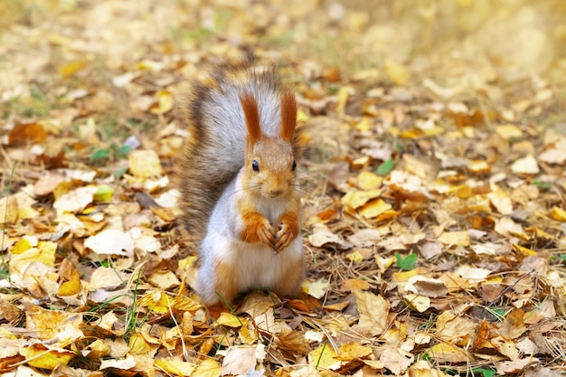 Portrait of squirrel on background of autumn leaves