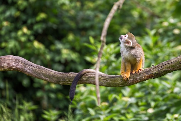 Portrait of squirrel monkey saimiri sciureus sitting on a tree branch