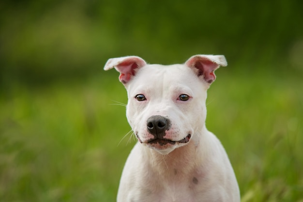 Portrait of a staffordshire bull terrier