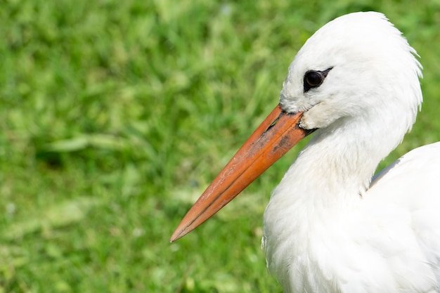 Portrait of a stork in the wild on a background of green grass near the lake. birds and wild bird watching in nature.
