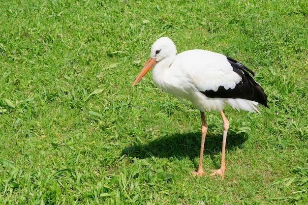Portrait of a stork in the wild on a background of green grass