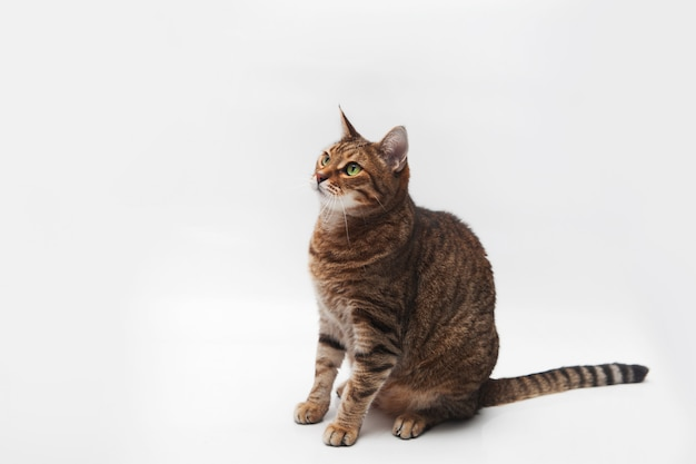 Portrait of striped cat on white isolated.
