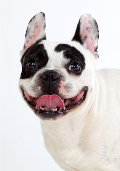 Portrait in studio of a cute bulldog