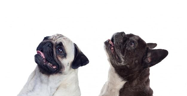 Portrait in studio of cute bulldogs looking up i