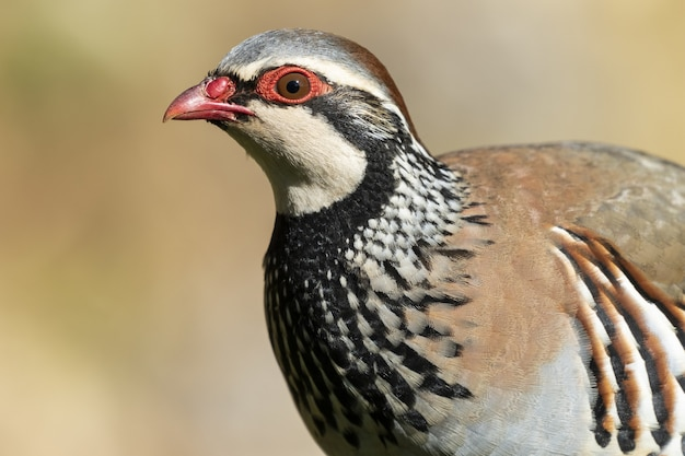 Portrait of a stunning red-legged partridge in the forest