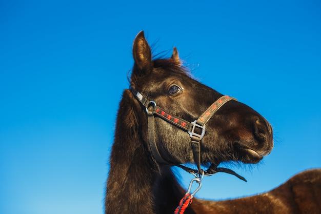 Portrait of a surprised arabian colt against blue sky