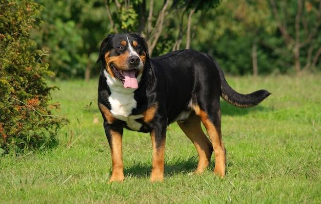 Portrait of swiss mountain dog