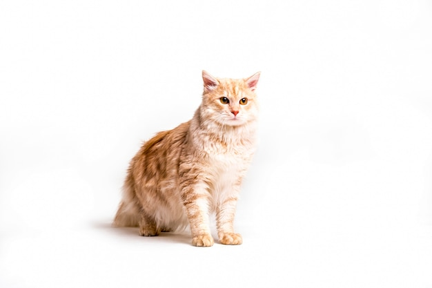 Portrait of tabby cat over white background
