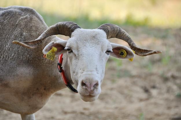 Portrait of a tarasconnais sheep