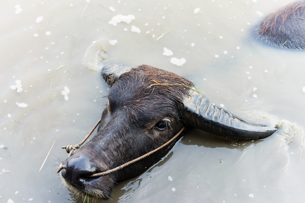 Portrait of thai water buffalo floating on water pond