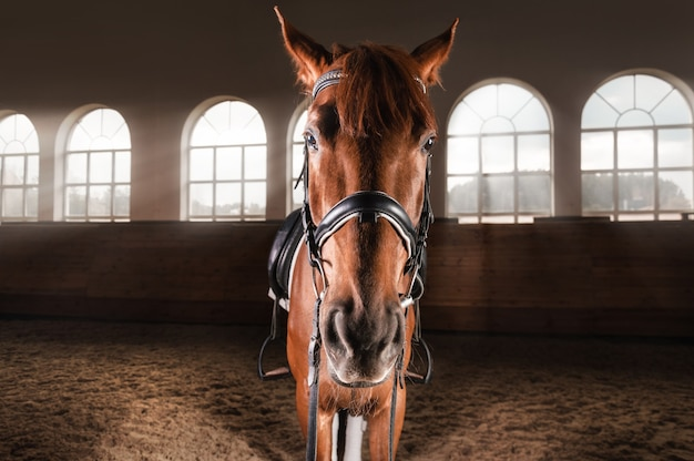 Portrait of a thoroughbred horse in the arena. equestrian sport concept.