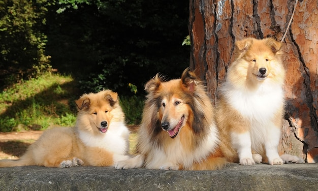 Portrait of three rough collie dogs