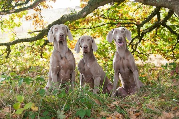Portrait of three weimeraners