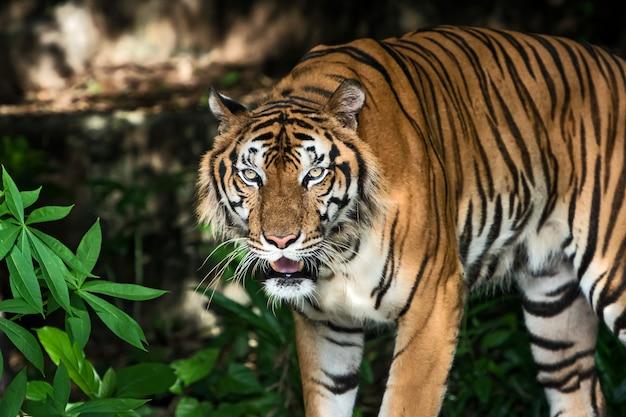 Portrait of tiger.