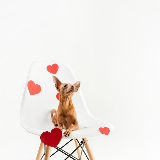 Portrait of tiny chihuahua dog sitting on a chair