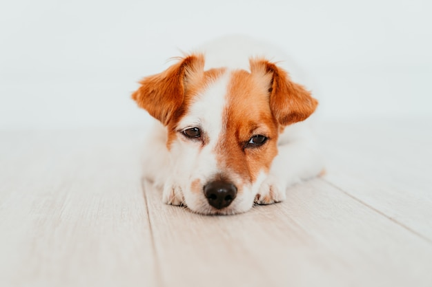 Portrait of tired or angry small jack russell dog lying on the floor. adorable dog at home