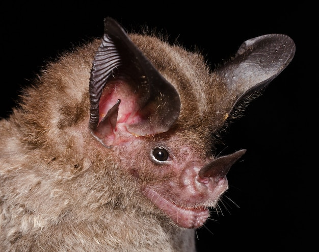 Portrait of tonatia saurophila (stripe-headed round-eared bat).  is a species of bat from family phyllostomidae. it can be found on forests in central and south america.