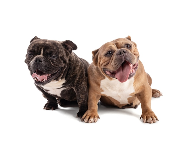 Portrait of tow american bully dogs on a white background