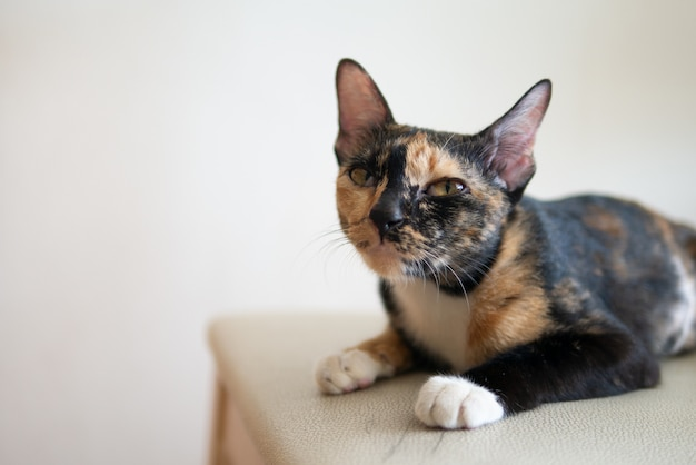 Portrait of tricolor cat or calico or tortie and white or tortoiseshell with grumpy face