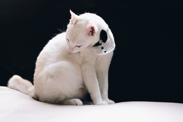 Portrait of tuxedo white cat wearing suit, animal  fashion concept.