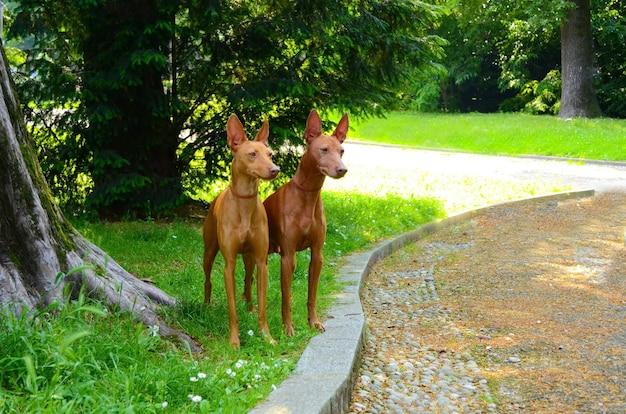 Portrait of two cirneco dell etna dogs