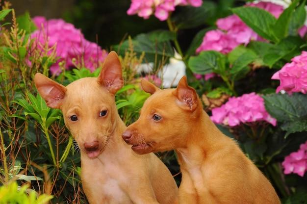 Portrait of two cirneco dell etna puppies