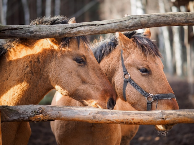 Portrait of two horses in the paddock. Premium Photo