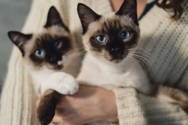 Portrait two identical siamese cats