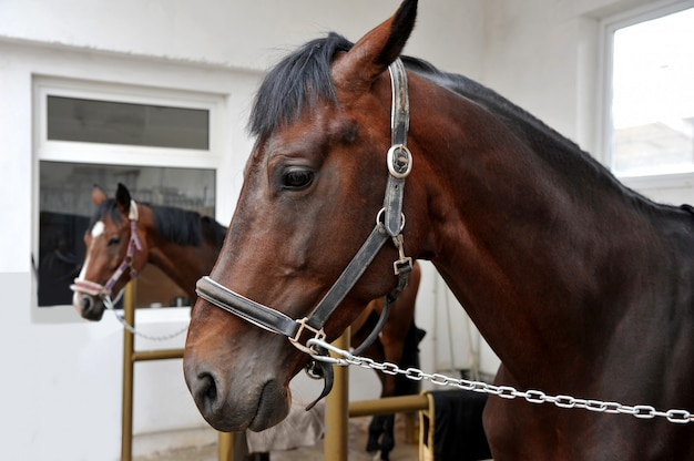 Portrait of two purebred  horses in stable.