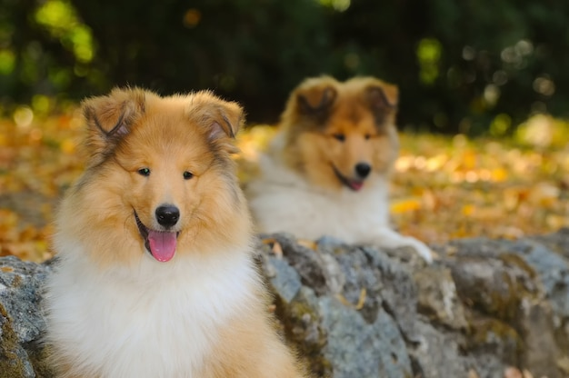 Portrait of two rough collie dogs