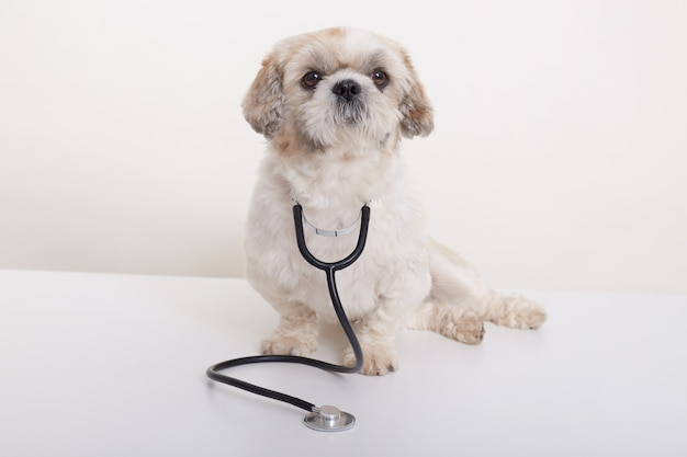 Portrait of vet pekingese dog isolated
