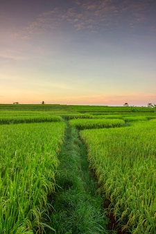Portrait views of rice fields that turn green on a beautiful morning