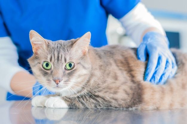 Portrait of a well-fed cat on the surgical table against the background of the doctor's hands in gloves. veterinary medicine concept