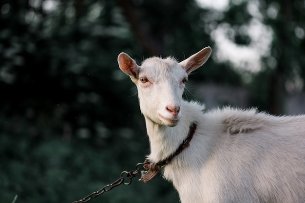 Portrait of white adult goat grassing on an animal farm