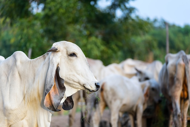 Portrait of white asian cow on cow herd background