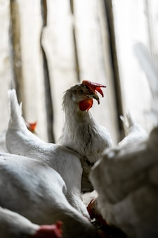 Portrait of a white chicken with a red tuft. the chicken raised its head above the pack of its brethren