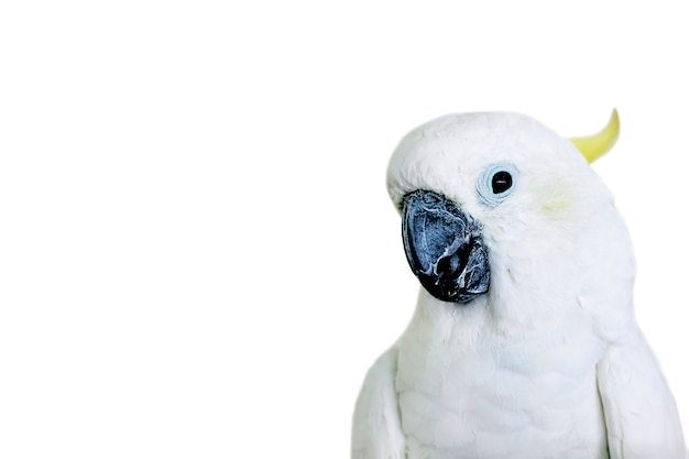 Portrait of a white cockatoo parrot