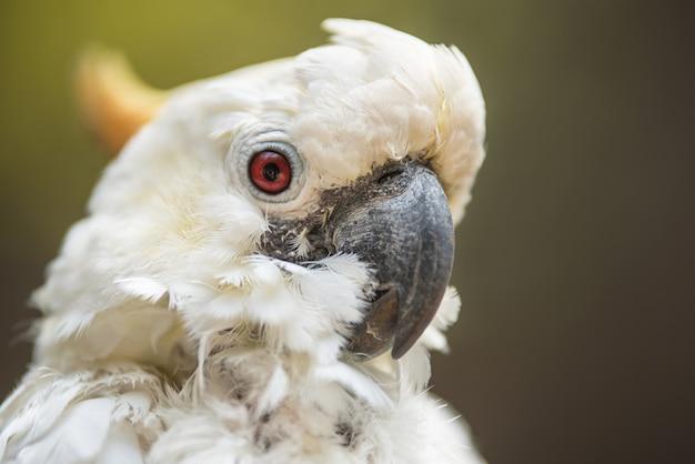 Portrait of white cockatoo, sulphur-crested cockatoo