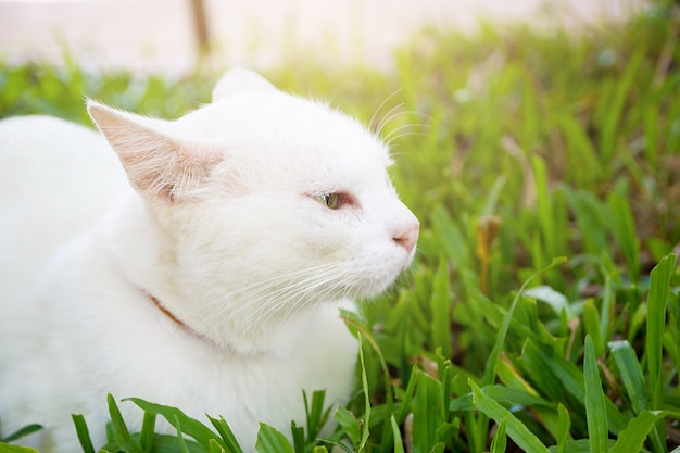 The portrait of white colour thai cat with 2 different colored eyes