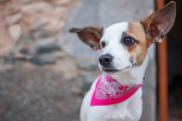 Portrait of a white dog with pink scarf on the neck.