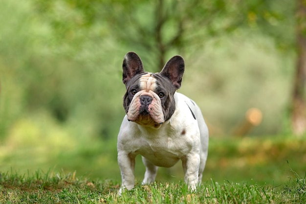 Portrait of a white french bulldog puppy with black spots pensively standing against a background of green grass, copy space.