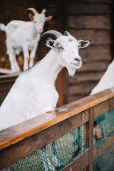Portrait of a white goat in the barn
