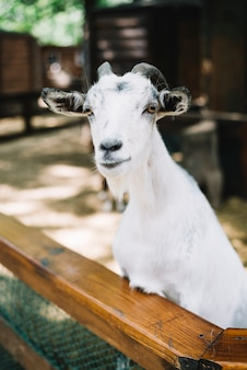Portrait of white goat