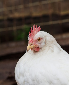 Portrait of a white hen