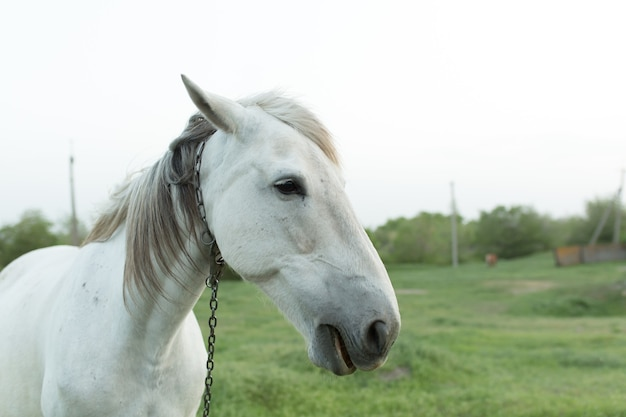 Portrait of a white horse on a farm with a chain collar.