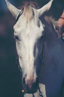 Portrait of a white horse in farm