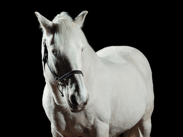 Portrait of a white horse, isolated on black wall